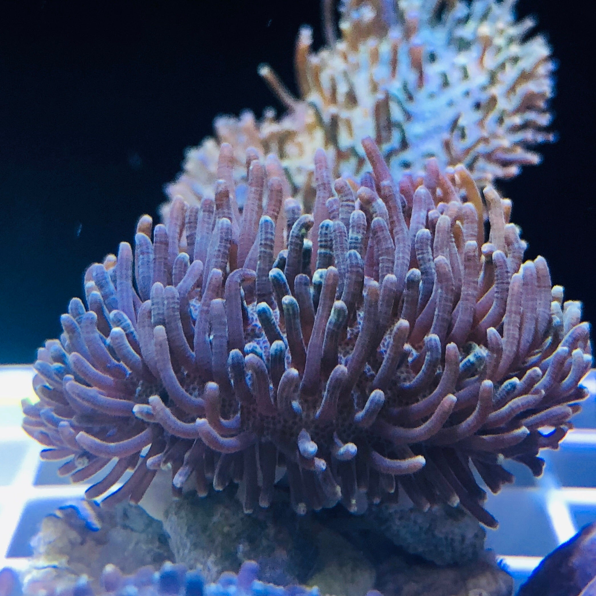 Toadstool Leather Coral-ORA Aquacultured