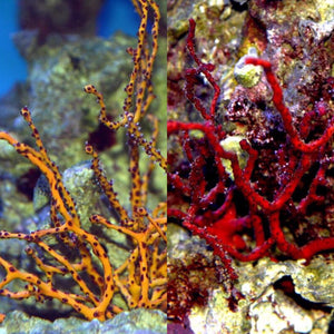 Two Pack Special-One Red Finger and One Yellow Finger Gorgonian