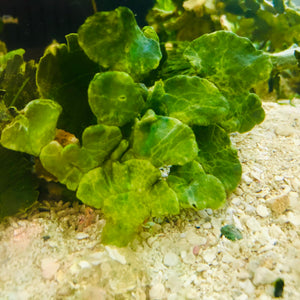 SPECIAL-3 Pack Rooted Thick Halimdea-Macroalgae (VERY NICE)