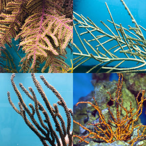 4 Pack Gorgonian Special