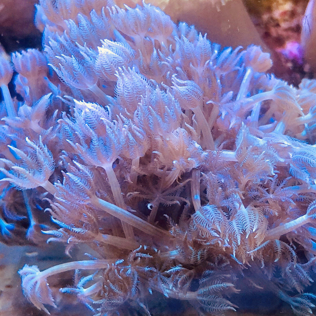 Red Sea Pulsing Xenia (Colony)-Aquacultured-VERY NICE