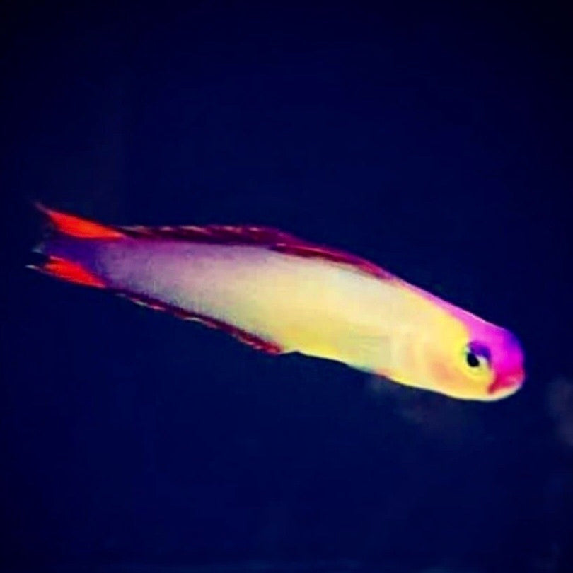 Aquarium Conditioned-Purple Firefish (Very Nice)