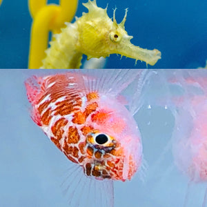Captive Bred Single Dwarf White Spotted Goby and Pair of Saddled Erectus Seahorses