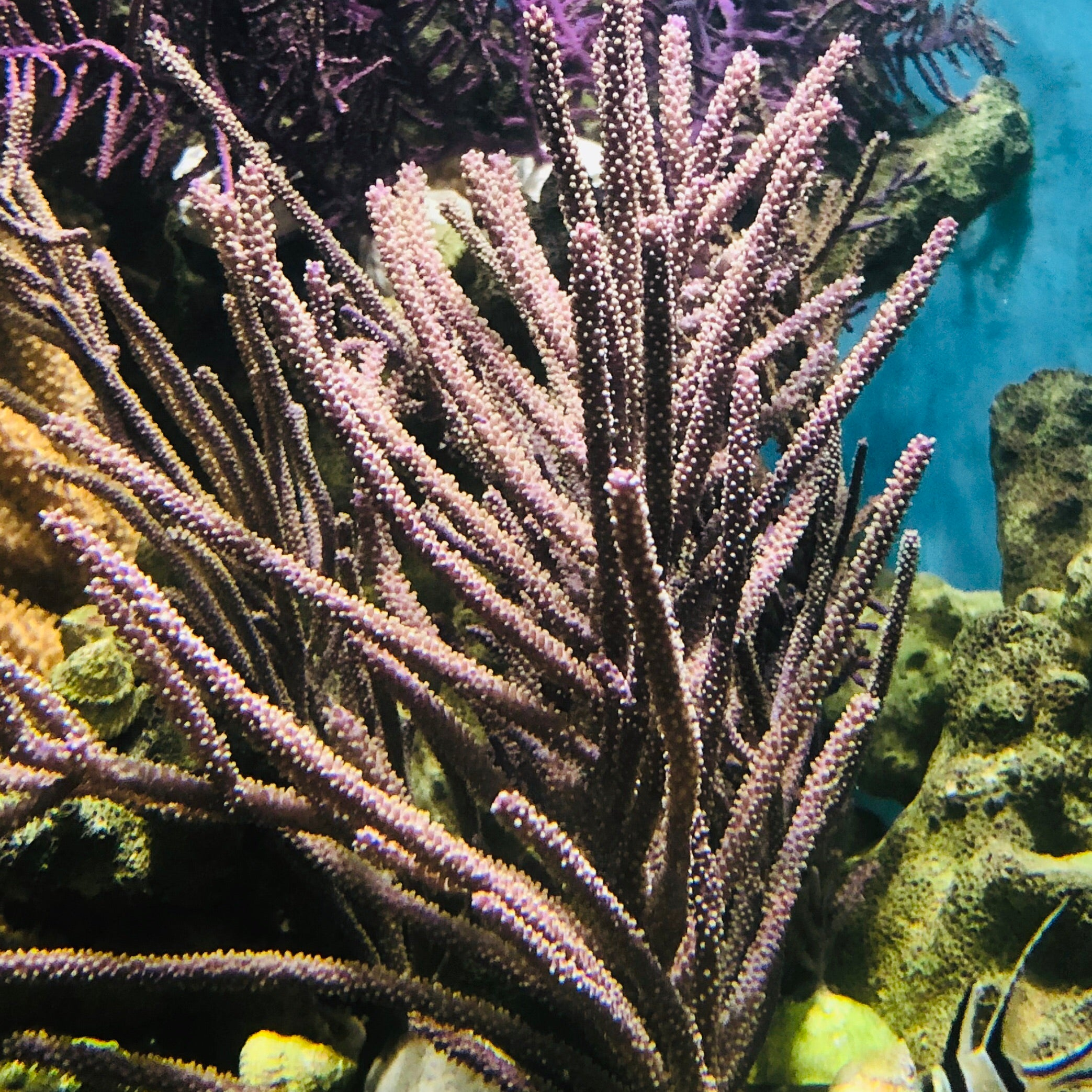 Purple Bottle Brush Gorgonian-Photosynthetic