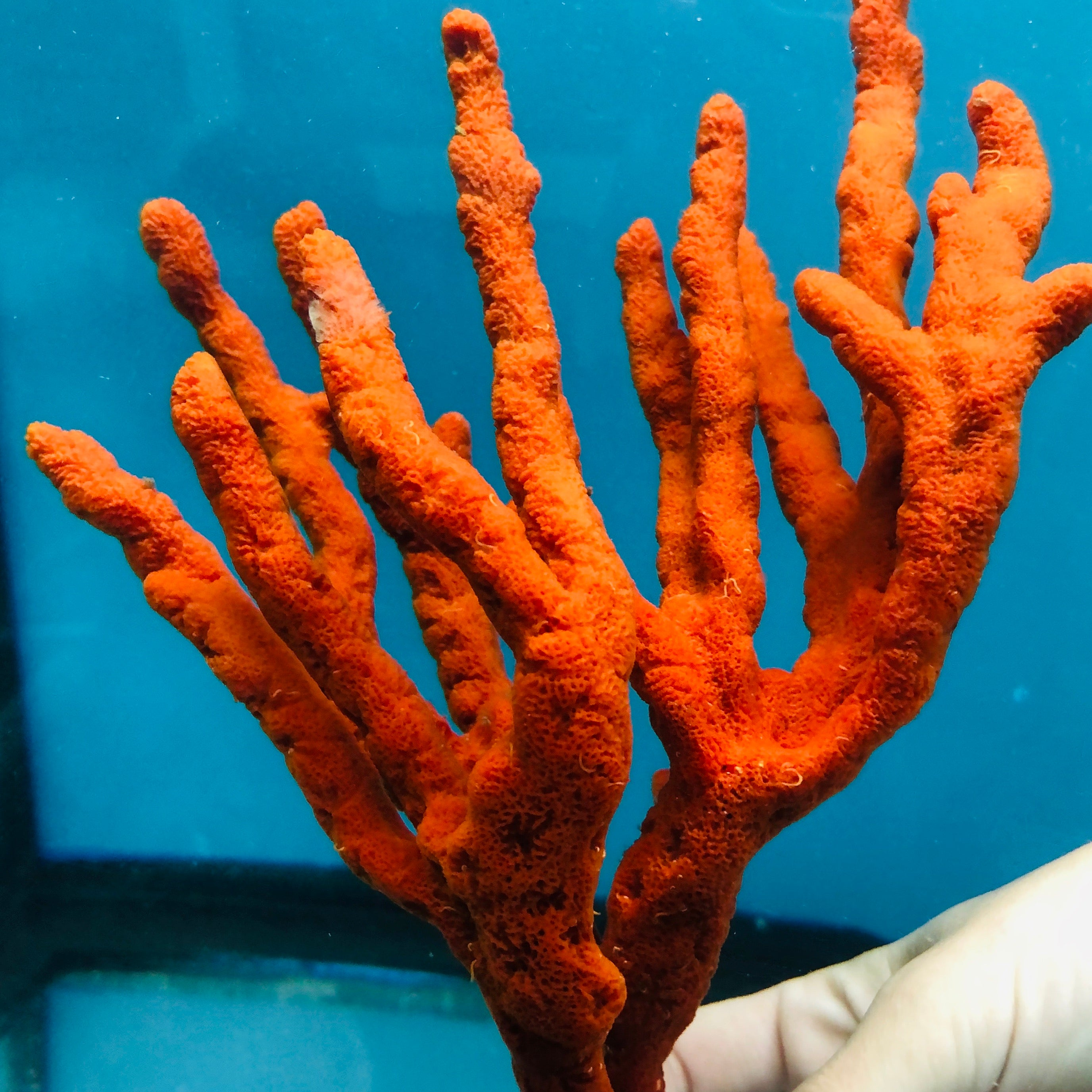 Red Branching Tree Sponge-(Great for Seahorse Hitching Posts)