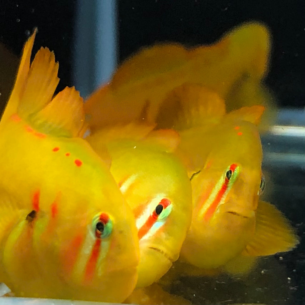 NEW Aquarium Conditioned-Coral Clown Goby