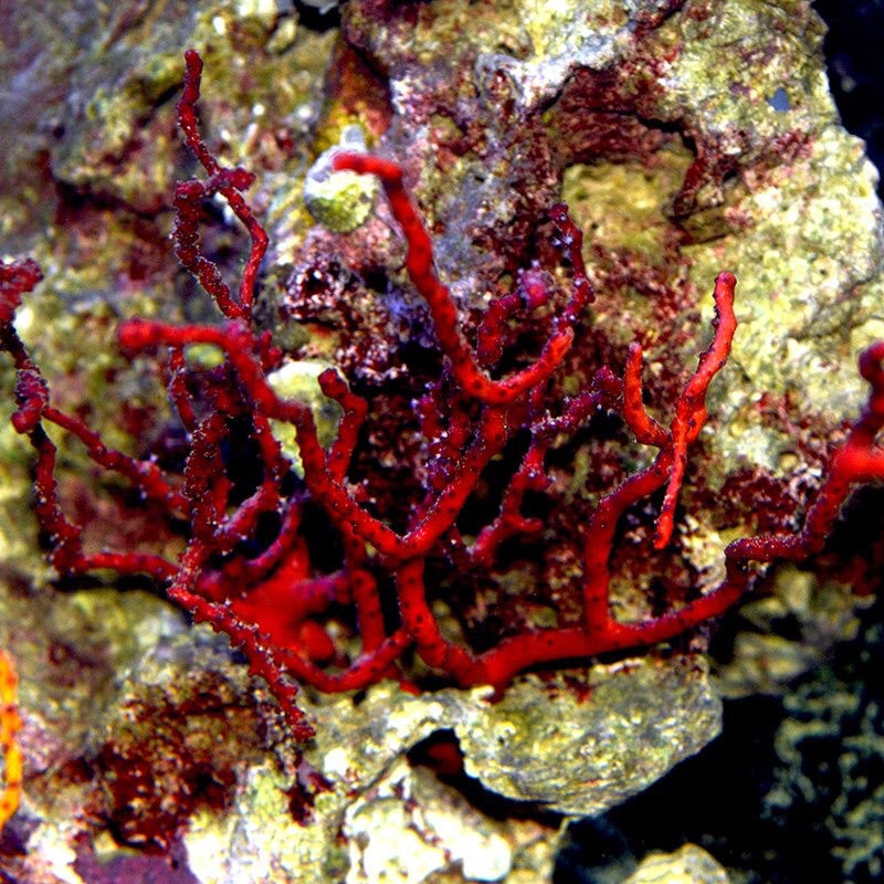 Red Finger Gorgonian