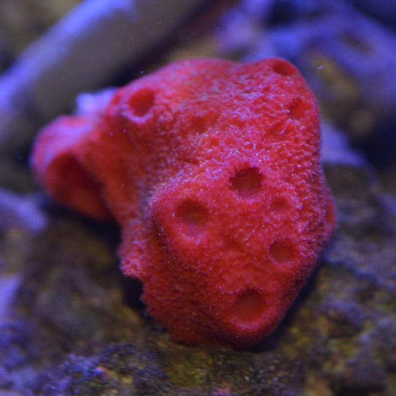 Bright Red Encrusting Ball Sponge