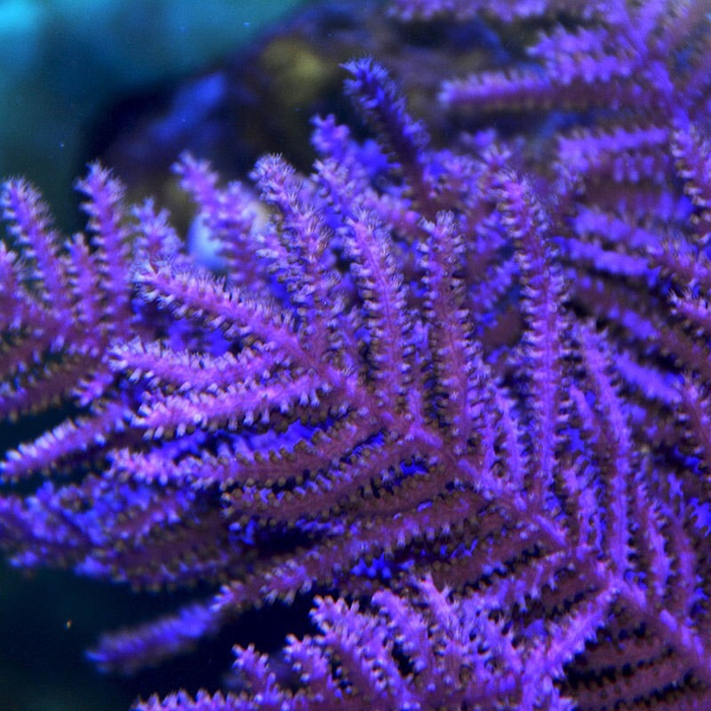Purple Frilly Gorgonian (LARGE)-Photosynthetic VERY NICE