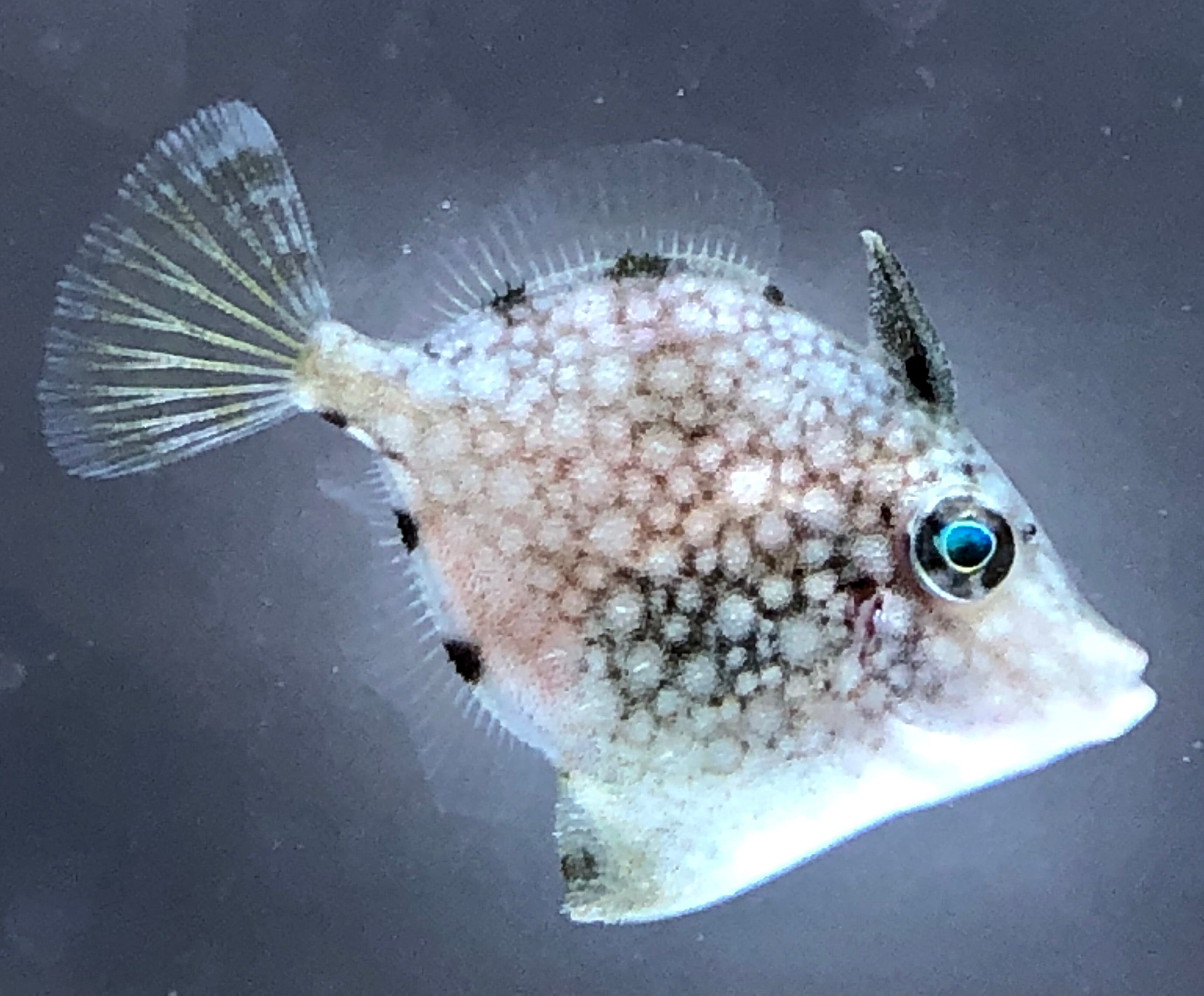 ORA Captive Bred-Whitespotted Pygmy Filefish