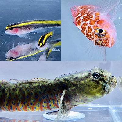 SAVVY SPECIAL-Goby Pack-Crested Oyster Goby, Yellowline Goby, and Dwarf White Spotted Goby