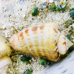Strawberry Conch-Great Sand Sifters