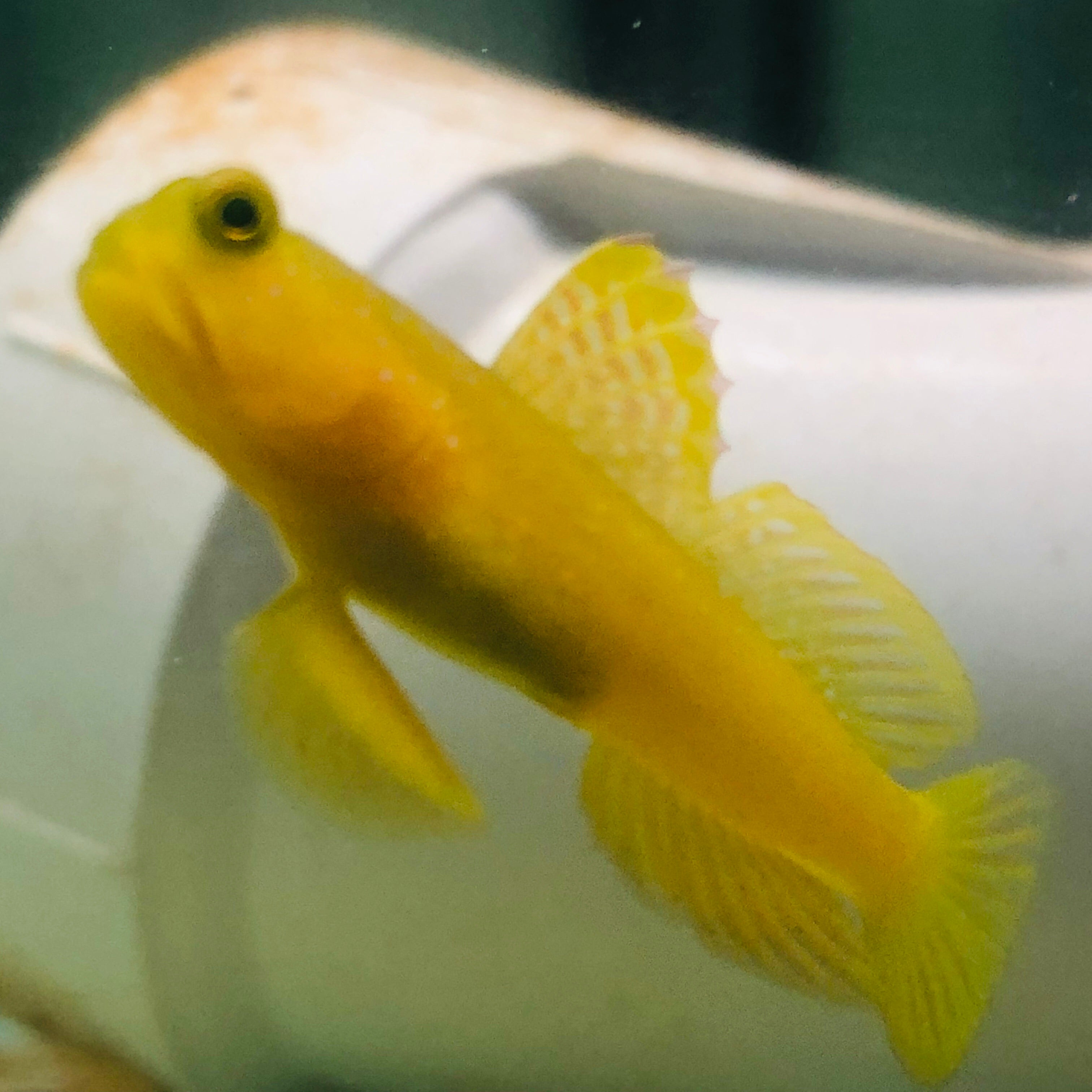 Aquarium Conditioned-Yellow Watchman Goby