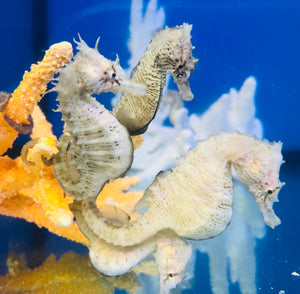 NEW Captive Bred-Northern H. Erectus Seahorse-2 Pair Special