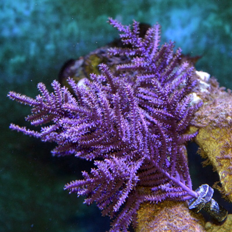 NEW Purple Frilly Gorgonian-Photosynthetic VERY NICE