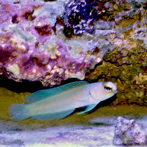 Aquarium Conditioned-Pearly Yellowhead Jawfish