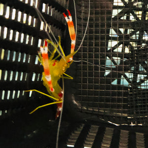 NEW Gold Banded Shrimp-Pair