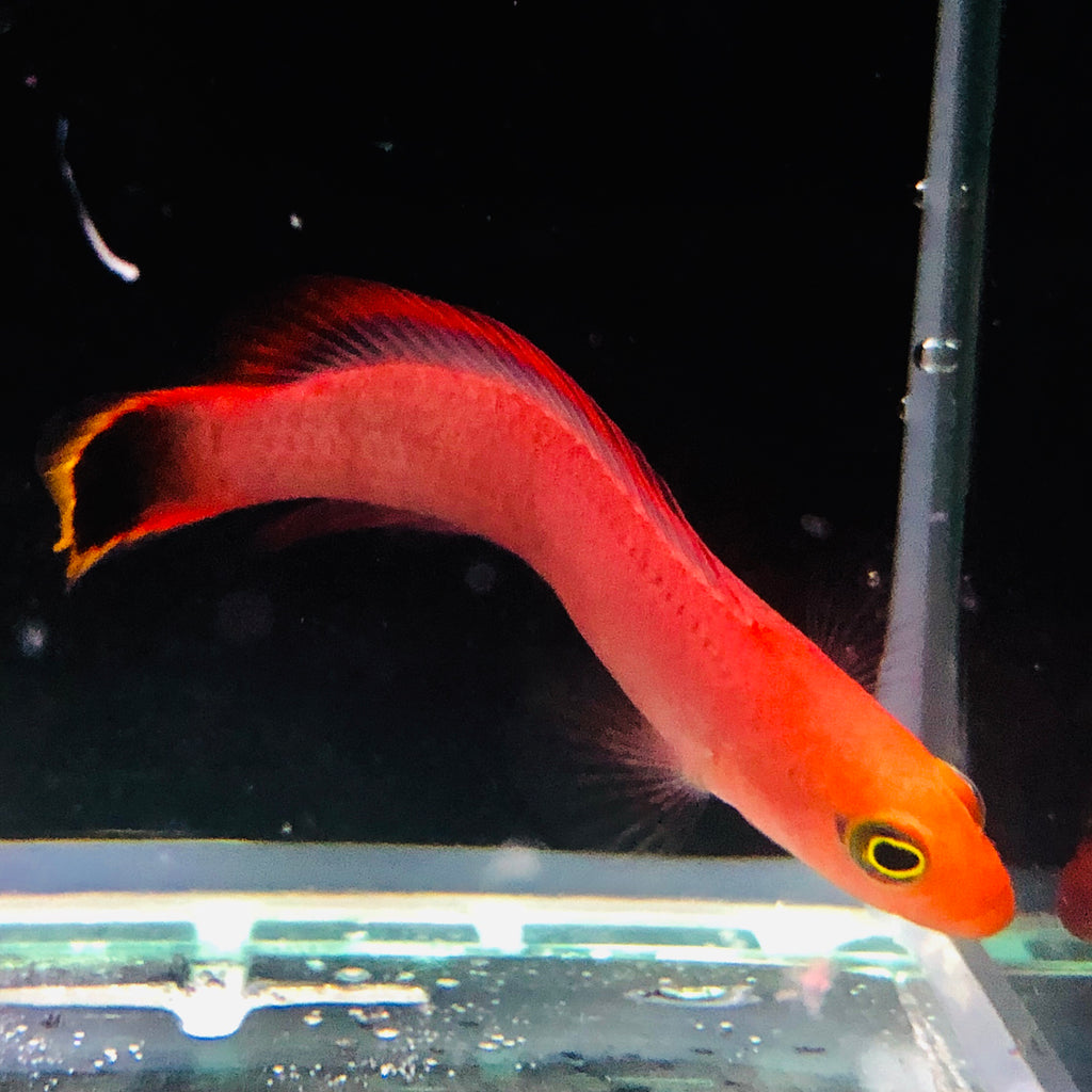 NEW ORA Captive Bred-Elongate Dottyback (small species)