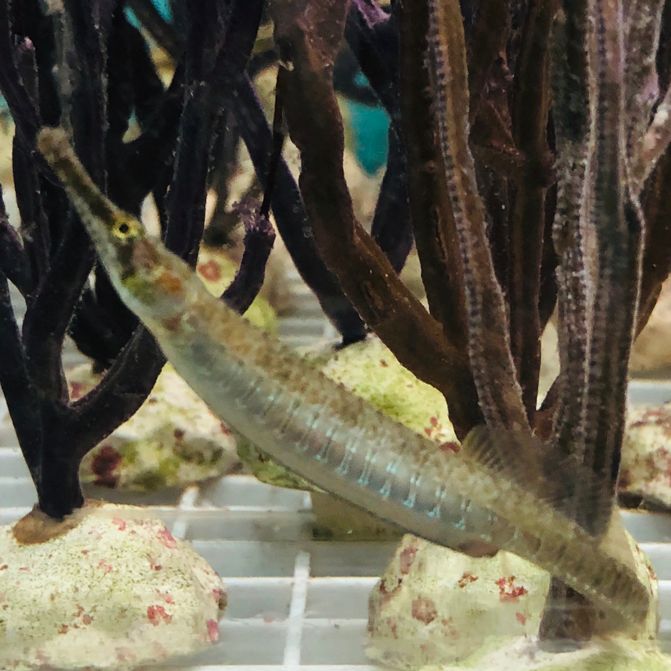 NEW Gulf Pipefish