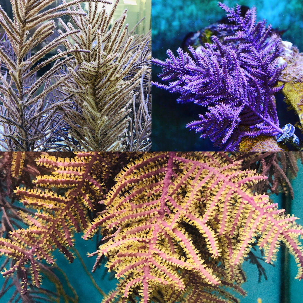 2 Pack Specials-One Purple Frilly and One Purple Bottle Brush-Photosynthetic Gorgonians