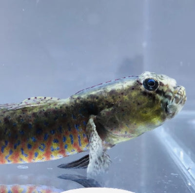 ORA Captive Bred-Crested Oyster Goby