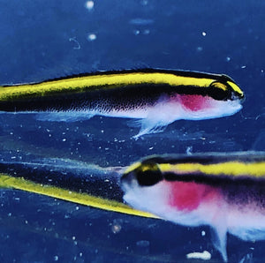 ORA Captive Bred-Yellowline Goby