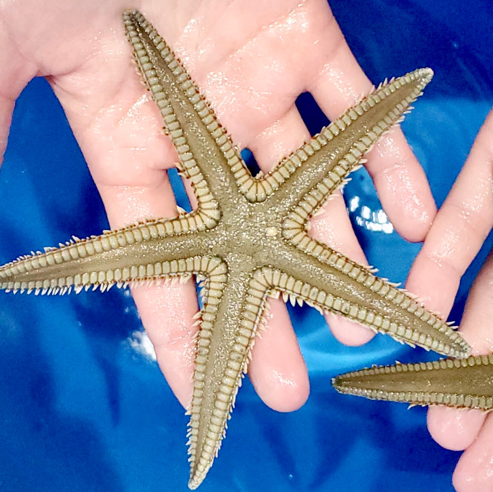 Beaded Sand Sifting Sea Star