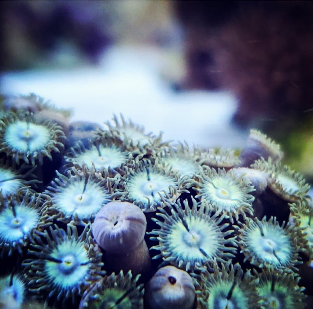 Blue Caribbean Zoanthid Cluster