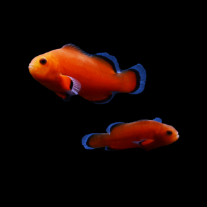 ORA Naked Ocellaris Clownfish-Pair