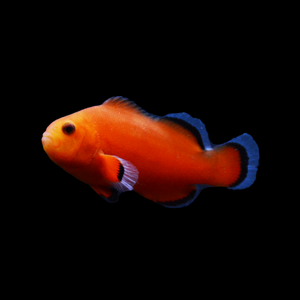 ORA Naked Ocellaris Clownfish-Single