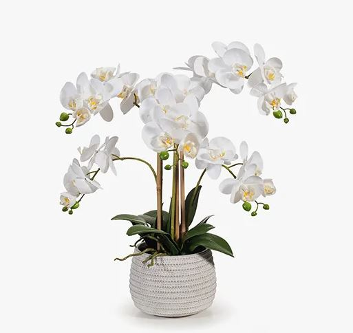 Orchid Phalaenopsis in Pot