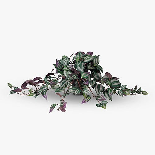 Wandering Jew Hanging Bush in Pot