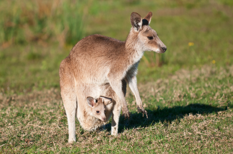 kangaroo with baby kangaroo in pouch