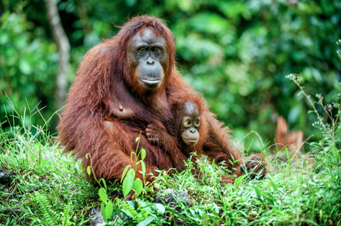 baby ape with mother ape