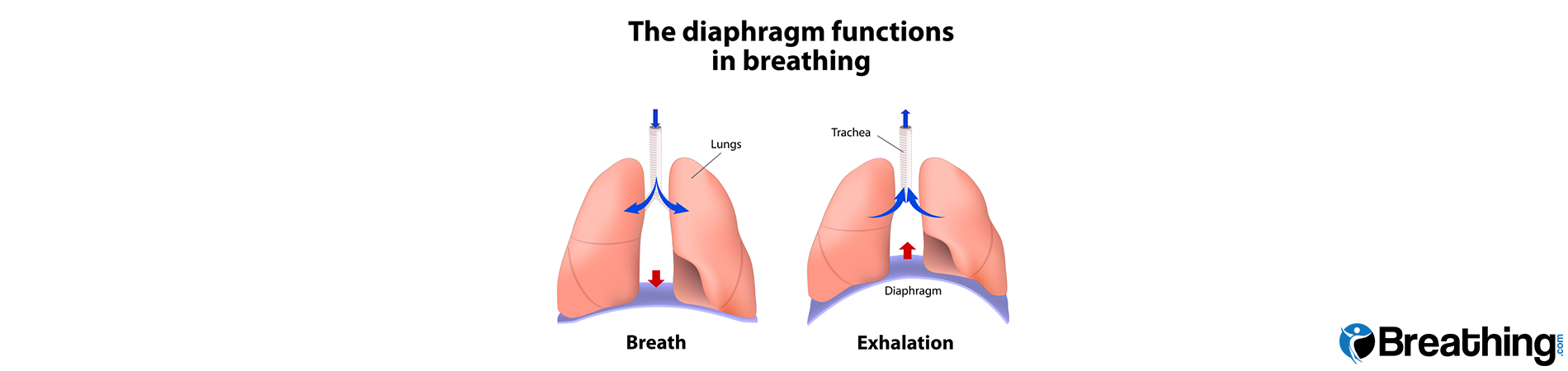 diaphragm development many sources of mediocre to bad information Diaphragmatic Innervation Diagram mr a has had an injury to his diaphragm inability to function properly adversely affecting his breathing there is no established medical treatment