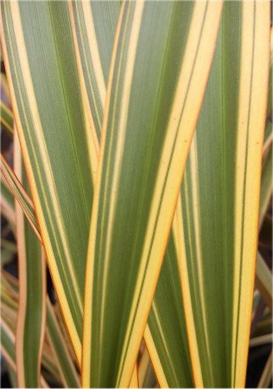 Flax Leaves