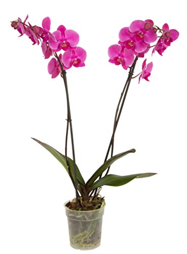 Phalaenopsis Orchid DOUBLE Stem - Raw Potted 125mm