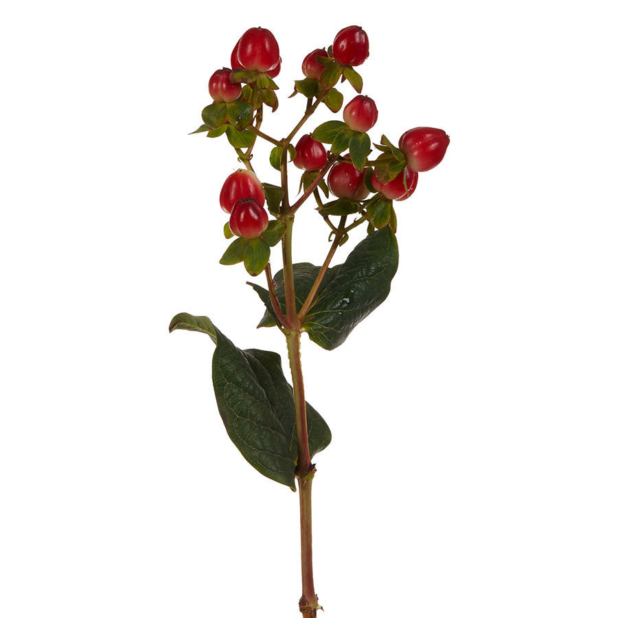 Hypericum, seasonal red berries for flower bouquets for purchase at Bills.