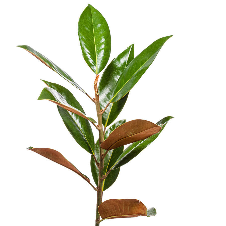Magnolia Leaves, buy this Bills foliage in 5, 10 or 15 stems.