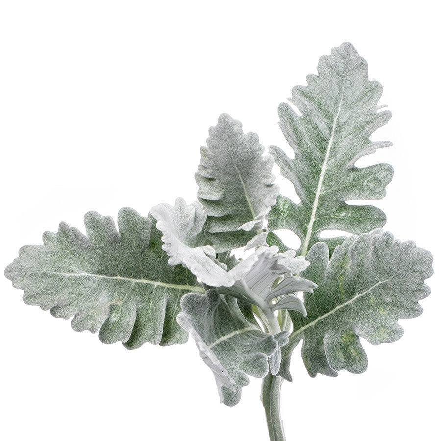 Dusty Miller, foliage that looks fantastic both on its own and mixed with other cut flowers from Bills.