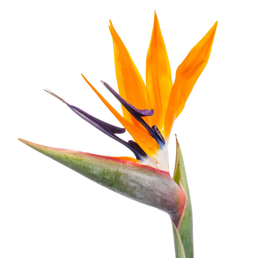 Bird of Paradise, beautiful and exotic cut flowers from Bills.