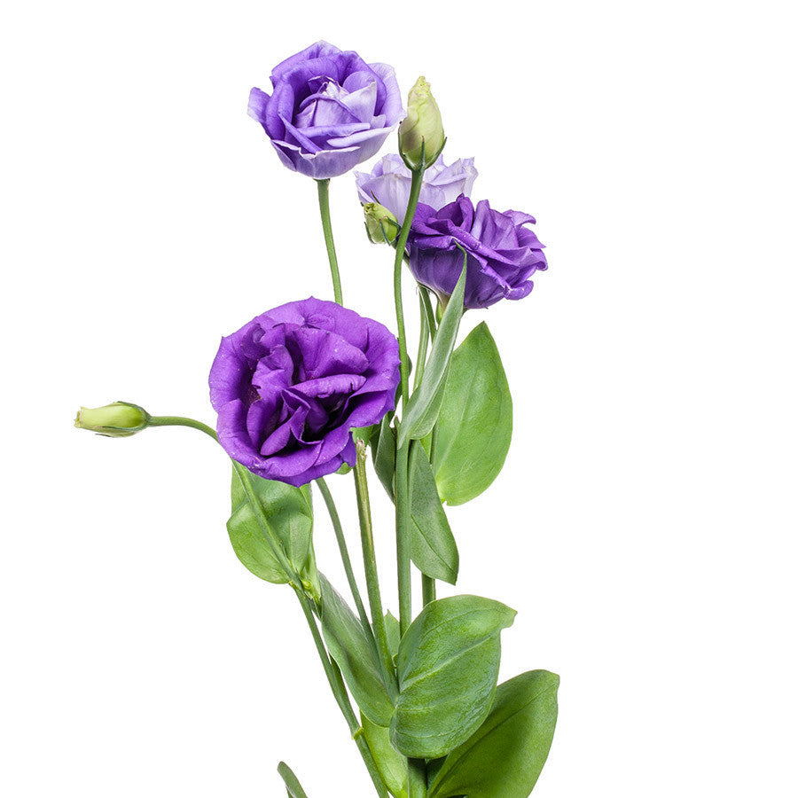 Lisianthus, great for flower bouquets or mixed arrangements, buy yours at Bills today!
