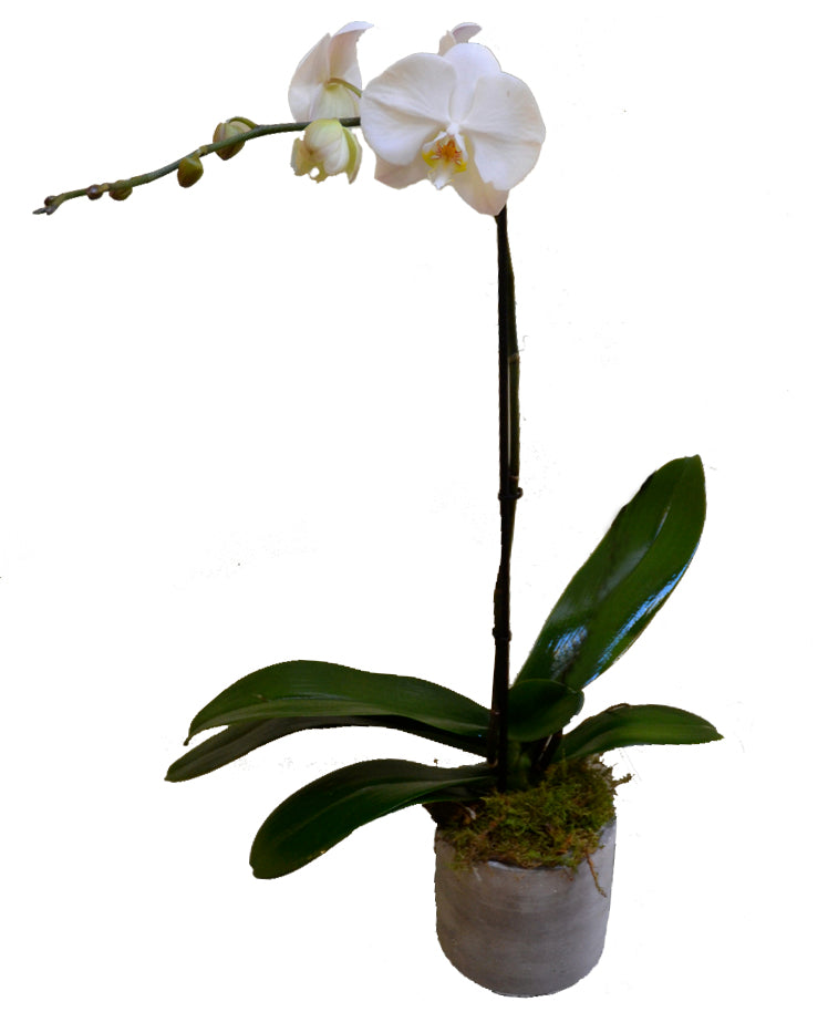 Phalaenopsis Orchid SINGLE Stem - Raw Potted 125mm