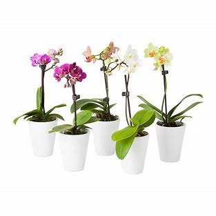 Phalaenopsis Orchid - Micro in ceramic pot