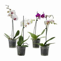 Phalaenopsis Orchid - Mini Raw Potted
