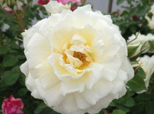 Rose of the Week: Cloud Ten
