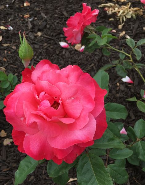 Rose of the Week: Color Magic!