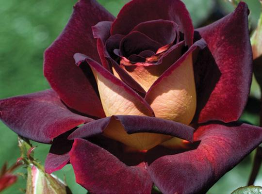 ROSE OF THE WEEK:  Dark Night™