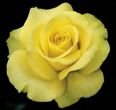 Rose of the Week: St. Patrick