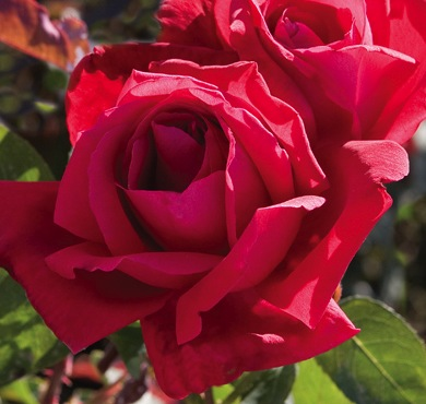Rose of the Week: Chrysler Imperial